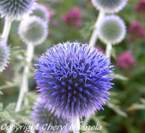 blooming globe thistle2